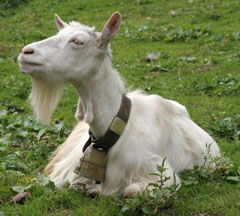 swiss alpine goat